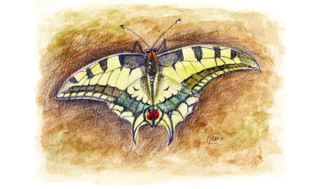 Saharan Swallowtail - illustration courtesy Richard Hoath