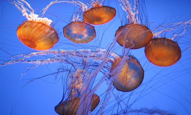 Jellyfish on Egyptian shores are stinging but not poisonous – CC via Flickr/NBphotostream