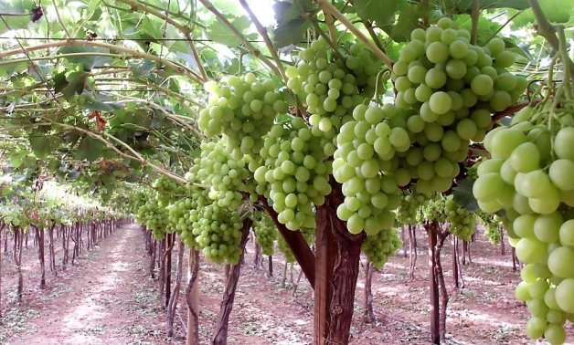 Grapes – Wikimedia Commons