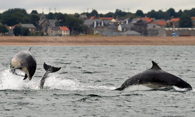 Bottlenose dolphins at Spittal- CC via Geograph