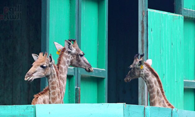 New giraffes imported from South Africa to Giza Zoo, including male Zizo that passed away in December - FILE