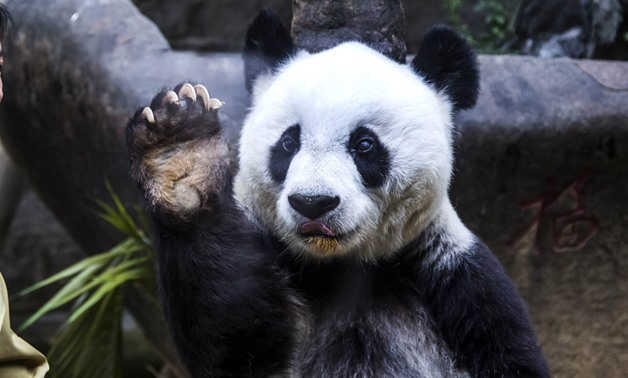 Basi the giant panda gestures during ceremonies to mark her 35th birthday in November 2015 - File photo
