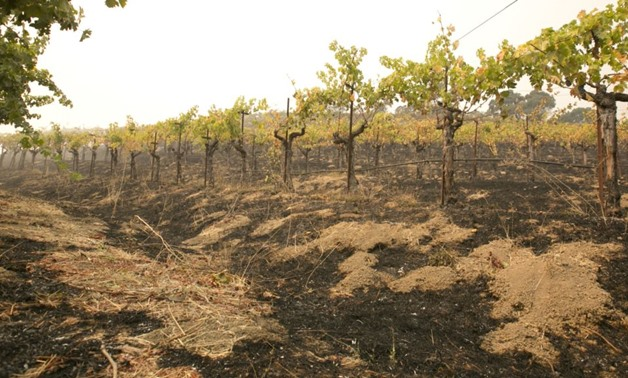 Grape vines sit among the scorched ground ot the Robert Sinskey Vineyard in Napa - REUTERS