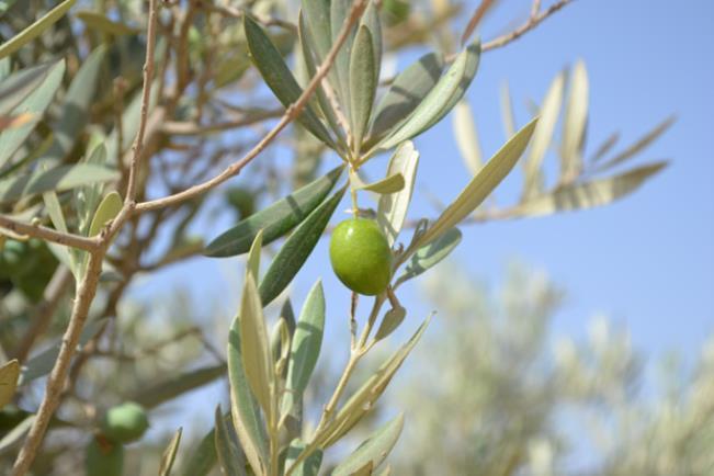 bustan aquaponics olive tree