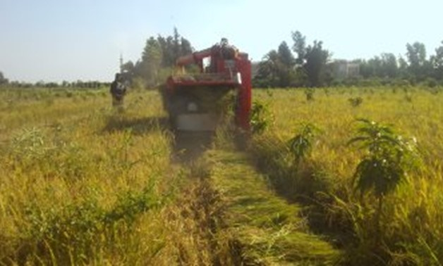 FILE - Rice agriculture in Egypt