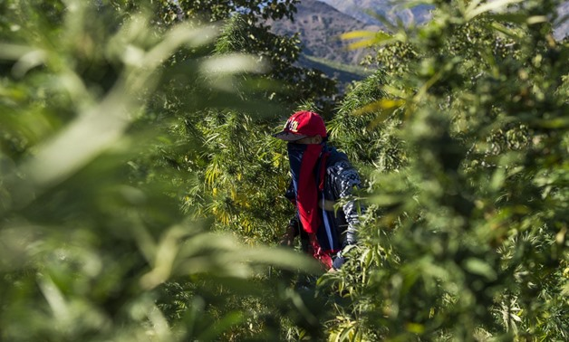 A masked farmer walks in a cannabis field near the town of Ketama in Morocco's northern Rif region on September 13, 2017. Moroccan law bans the sale and consumption of the drug. But that hasn't stopped farmers in Ketama growing vast plantations of it- AFP