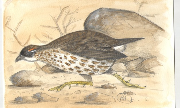 Sketch by Richard Hoath - Djibouti Francolin with acknowledgments to Norm Arlott