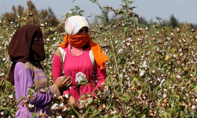Farmers harvest cotton in a field of San El Hagar village in the province of Al-Sharkia northeast of Cairo, Egypt October 18, 2016- Reuters