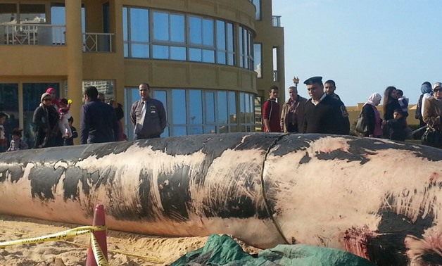 A fin whale was found dead ashore in the Rushdy district, Alexandria - Egypt Today/Asmaa Ali Badr