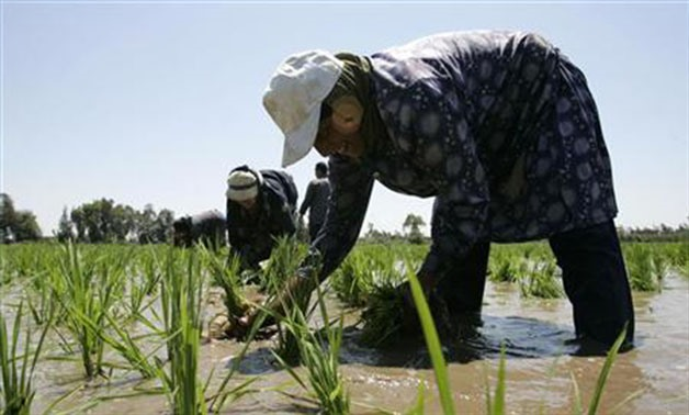 A laborer transplants rice seedlings in a paddy field in the Nile Delta town of Kafr Al-Sheikh, north of Cairo May 28, 2008 - REUTERS/Nasser Nuri