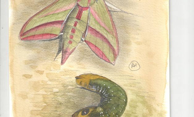 Elephant Hawkmoth-adult