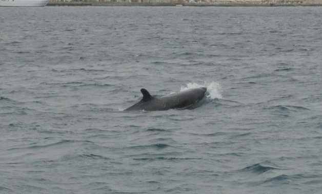 FILE: False killer dolphins spotted in Hurgada