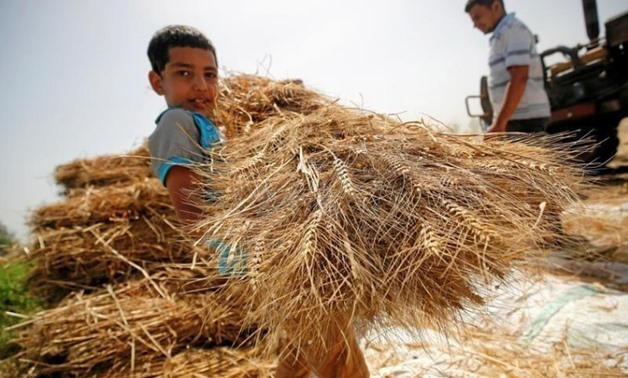 A son of farmer carries freshly harvested wheat in a field in Qaha, El-Kalubia governorate, northeast of Cairo, Egypt May 5, 2016. REUTERS/Amr Abdallah