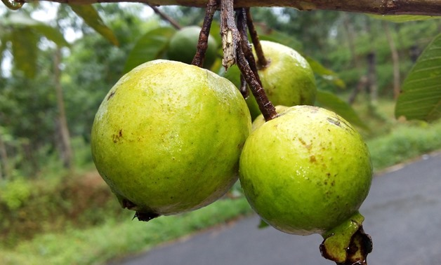 Bahrain lifts importing ban on Egyptian Guava