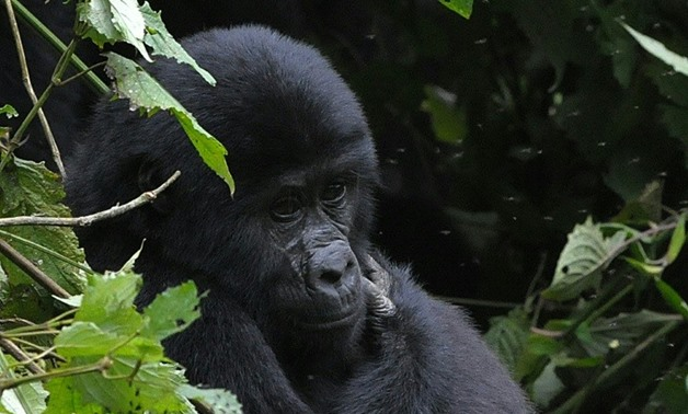 A female mountain gorilla sits in vegetation in the Bwindi Impenetrable Forest on the border of the Democratic Republic of Congo and Rwanda