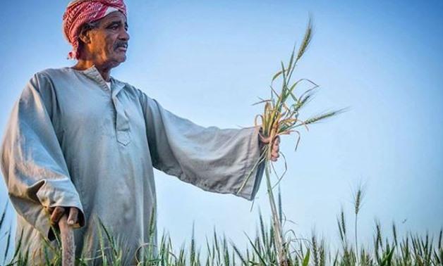 Farmer in his wheat farm - Egypt TodayKareem Abdulkareem