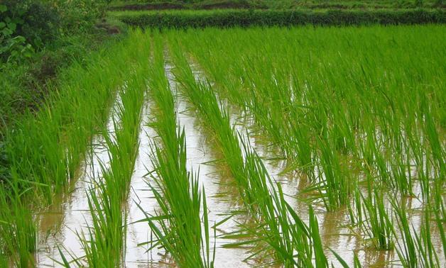 Caption: Rice cultivating- CC via Max Pixel