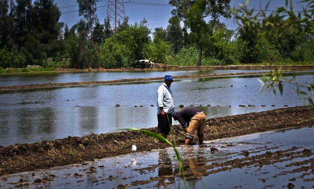 FILE- Egyptian farmers cultivate rice- Egypt Today/Hussein Tallal