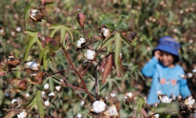 Cotton grows in a field of San El Hagar village in the province of Al-Sharkia northeast of Cairo, Egypt October 18, 2016 - REUTERS/Amr Abdallah Dalsh
