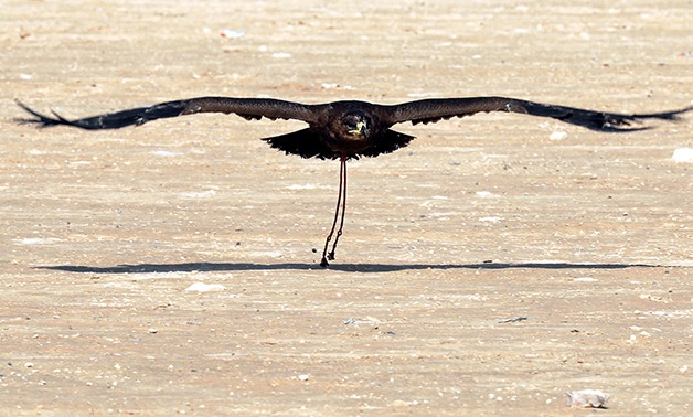 A falcon flies after being released during a celebration by Egyptian clubs and austringers on World Falconry Day at Borg al-Arab desert in Alexandria, Egypt, November 17, 2018. Picture taken November 17, 2018. REUTERS/Amr Abdallah Dalsh