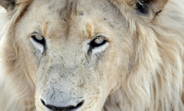 © AFP | South Africa has as many as 8,000 lions in captivity being bred for hunting, the bone trade, tourism and academic research, according to estimates by wildlife groups