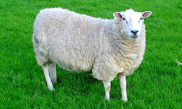 Lleyn sheep - CC via Wikimedia Commons/Jackhynes