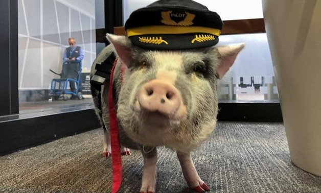 World's first airport therapy pig hogs the limelight at San Francisco airport - Reuters