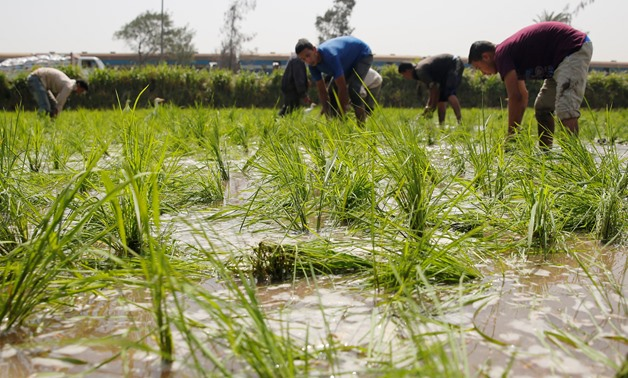 Labourers transplant rice seedlings in a paddy field in Qalyub, in the El-Kalubia governorate, northeast of Cairo, Egypt June 1, 2016. Picture taken June 1, 2016. To match Interview EGYPT-WHEAT/ REUTERS/Amr Abdallah Dalsh