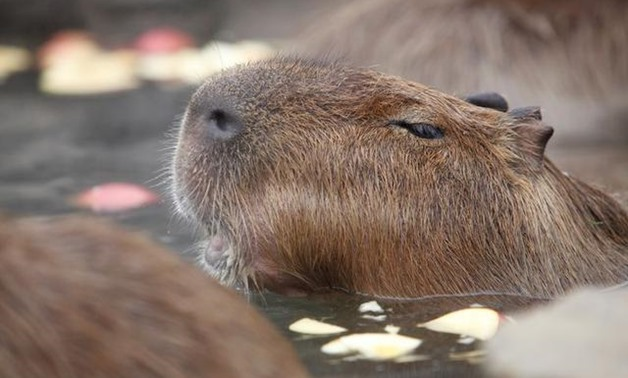 Capybaras sit inside a hot tub full of apples at Izu Shaboten Zoo in Ito, Japan February 1, 2020. Picture taken February 1, 2020. REUTERS/Sakura Murakami