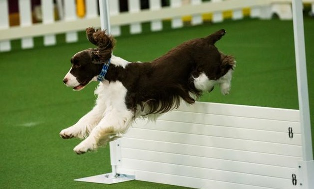 A dog competes during Master Obedience at the 144th Annual Westminster Kennel Club Dog Show in New York, U.S., February 9, 2020. REUTERS/Eduardo Munoz