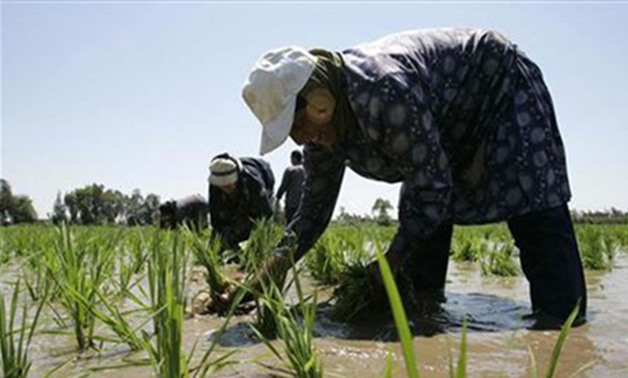 A laborer transplants rice seedlings in a paddy field in the Nile Delta town of Kafr Al-Sheikh, north of Cairo (Reuters)