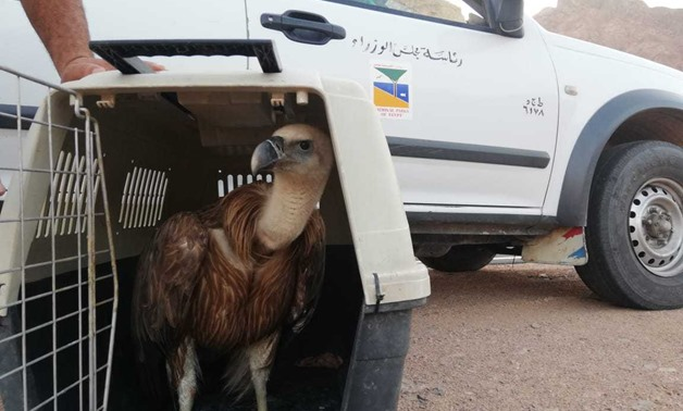 Egypt's Ministry of Environment saves a griffon vulture (Gyps fulvus)