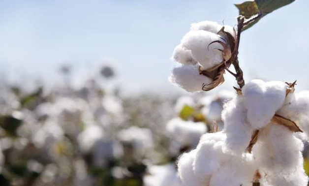 Long Staple Cotton - File Photo/ Wikimedia Commons