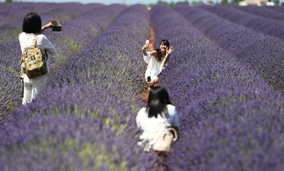Chinese tourists make selfies in a lavender field in Valensole, southern France, in June 2017. PHOTO: BORIS HORVAT / AFP