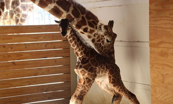 FILE- April helps her newly born unamed baby giraffe stand at the Animal Adventure Park, in Harpursville, New York, U.S. April 15, 2017. Animal Adventure Park/Handout via REUTERS