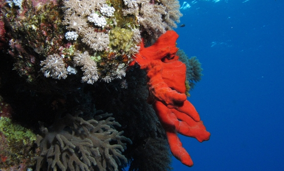 Coral reef in Egypt's Red Sea town, Dahab - CC via Wikimedia Commons/Amada 44