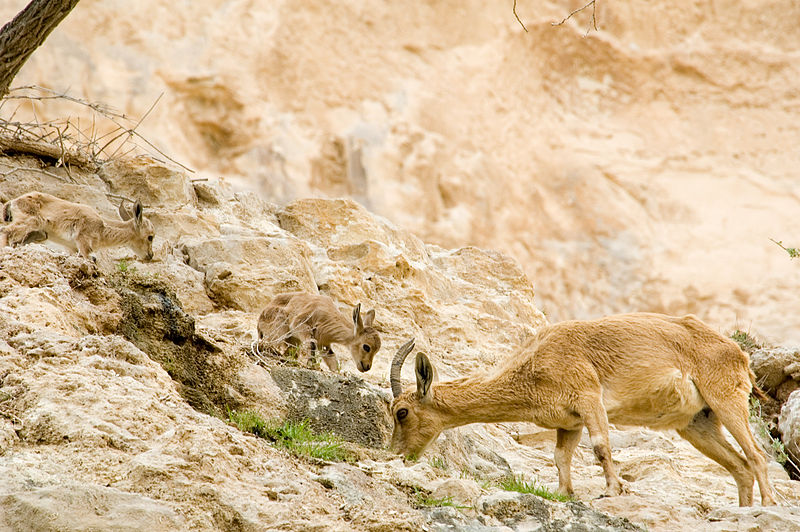 nubian_ibex_Capra_nubiana-_CC_via_Flickr-Paul_Asman_and_Jill_Lenoble