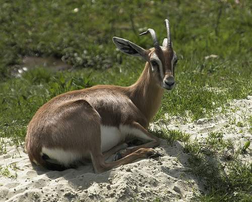 Mountain_gazelle-_CC_via_Wikimedia