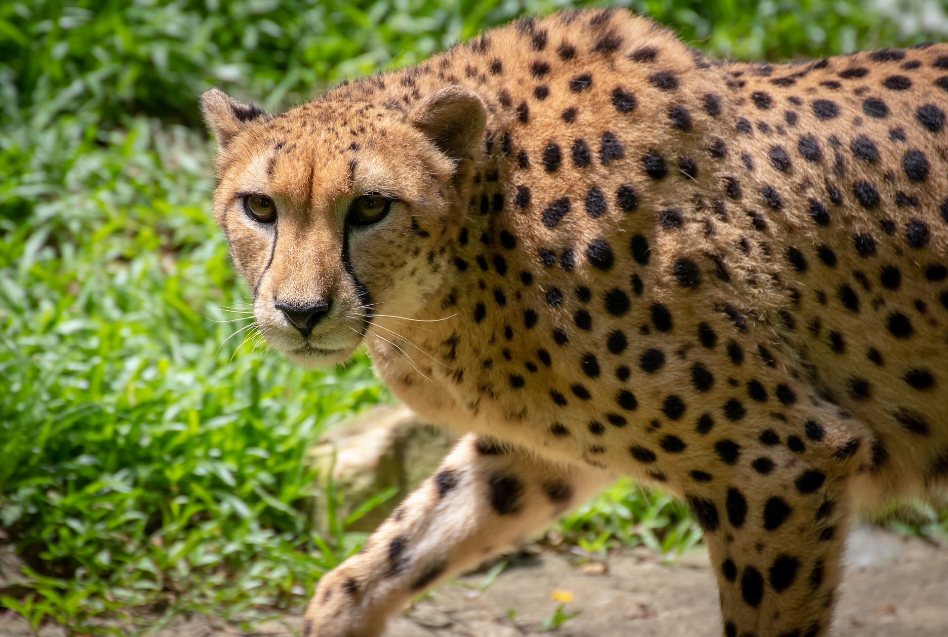 Photo_caption_Cheetah-_CC_via_Pixabay