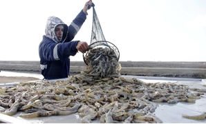 Fisherman unloads shrimps from his net near new Suez Canal - Archive
