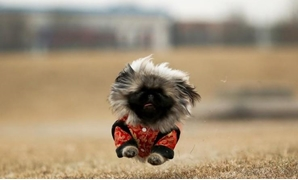 Qian Hao's imported Pekingese dog, Mixiu, runs in a park in Beijing, China, February 8, 2018. Picture taken February 8, 2018. REUTERS/Thomas Peter TPX IMAGES OF THE DAY