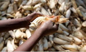 FILE - A Malawian person husks corn – Flickr/Malawi's Department of Foreign Affairs and Trade