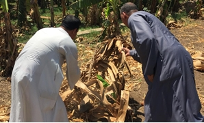 Egyptian farmers in Sohag complaining that their banana crops were destroyed due to water shortage - Egypt Today/Mahmoud Maqboul