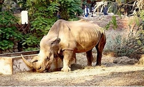"""Zizi, the rhino, arrived at Giza Zoo on October 22, 1983. White rhinos usually live to about 35 - 50 years of age - the Giza Zoo's Facebook"